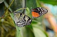 Paper Kite and Golden Longwing