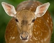 Fallow Deer Hind
