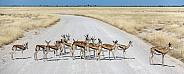 Springbok Antelopes - Namibia
