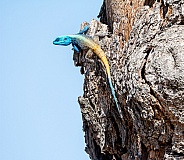 Male Tree Agama