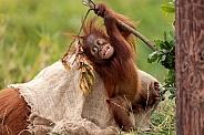 Baby Sumatran Orangutan Playing And Climbing