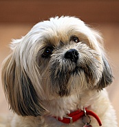 Lhasa Apso close up