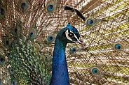 Blue Peacock close up