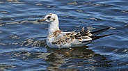 Young Black headed Gull