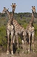 Three Giraffe (Giraffa camelopardalis)