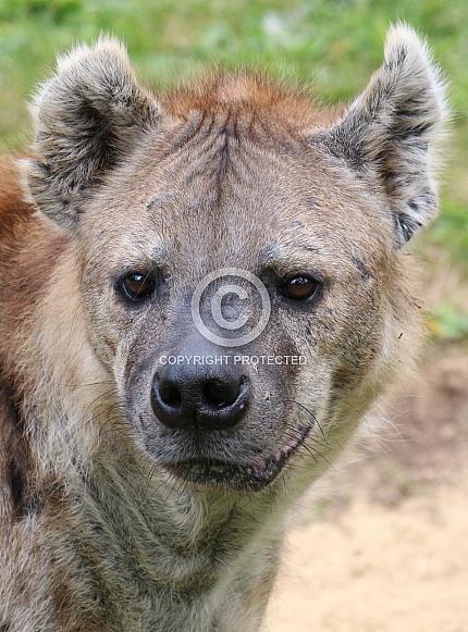 Spotted hyena portrait