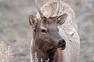 Wild spike bull elk