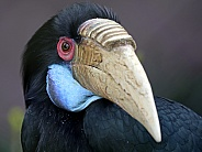 Bar-pouched wreathed hornbill