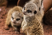 Baby meerkat, close up, side profile