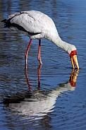 Yellowbilled Stork - Okavango Delta - Botswana