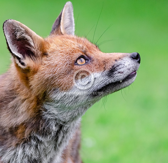 Fox Portrait