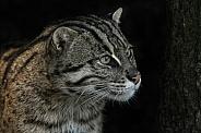 Fishing cat close up