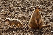 Mother and Baby Meerkat - Kalahari Desert