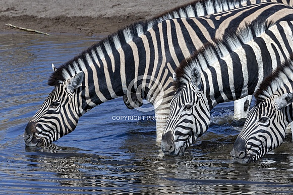 Plains Zebra drinking at a waterhole - Namibia
