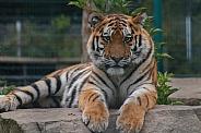 Amur Tiger Lying Down Head Up Facing Camera