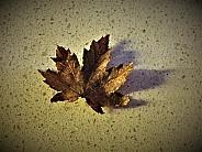 Liquid Amber Autumn Leaf