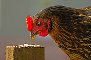 Chicken (hen - Black Rock)