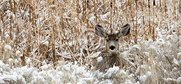 Wild, young mule deer laying in a field in the winter
