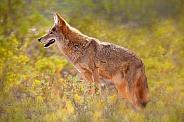 Coyote side profile