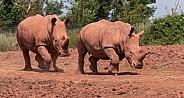 Two White Rhinos Running