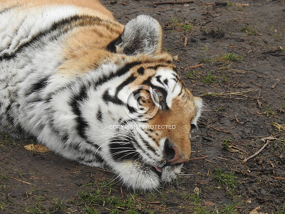 Tiger lying down - profile