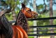 Arabian Colt from Side
