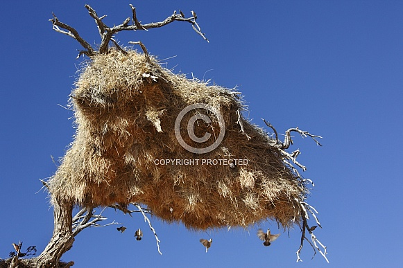 Sociable Weaver Bird nest in a tree - Namibia