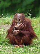 Young Urangutan