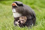 De Brazza Monkey Mother and Baby