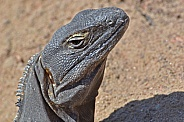 Spinytail Iguana Portrait