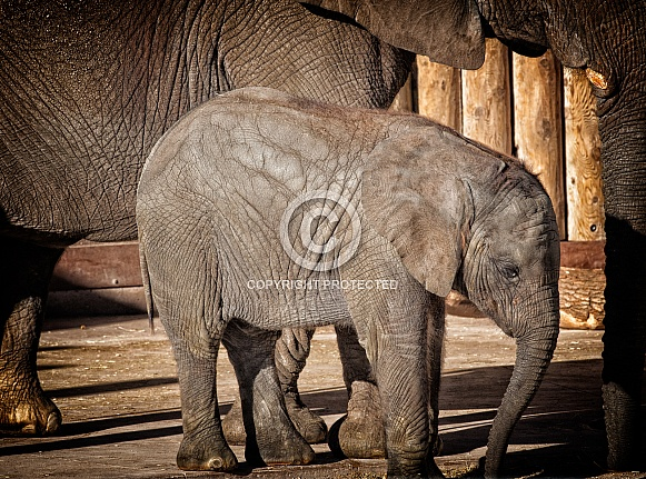 Baby elephant and mother profile