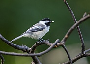 Black-Capped Chickadee with a seed
