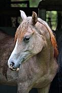 Arabian Filly in Stable