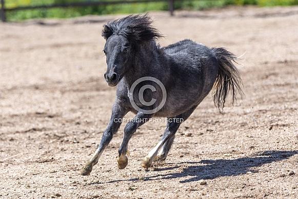 Miniature horse running around the arena