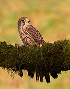 Kestrel Female with kill