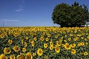 Sunflowers - Dordogne - France