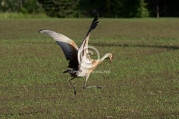 Sandhill Cranes in the springtime