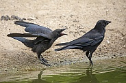 black crows (carrion crow)