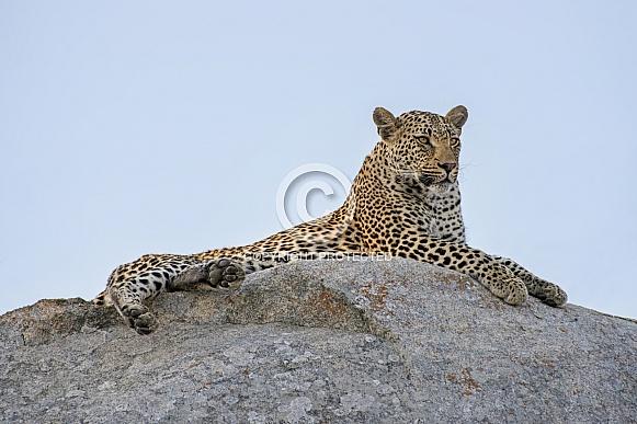African Leopard (Male)