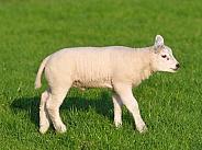 Texel sheep lamb