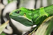 Banded Iguana