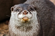 Asian Short Clawed Otter