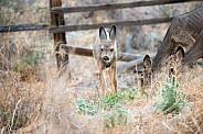Wild Mule Deer Fawn