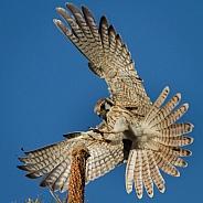 American Kestrel landing