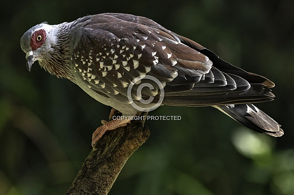 Speckled Pigeon Full Body Shot