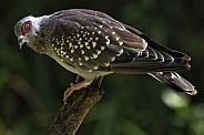 Speckled Pigeon Full Body Shot