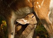 Fallow Deer Fawn Suckling