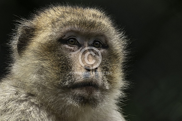Barbary Macaque Face Shot Black Background