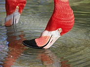 Flamingos Eating