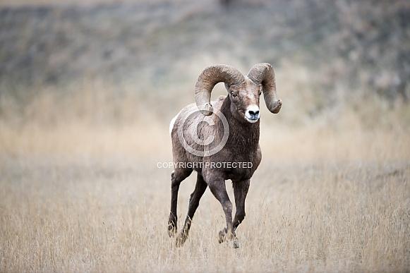 Big horn sheep (wild)